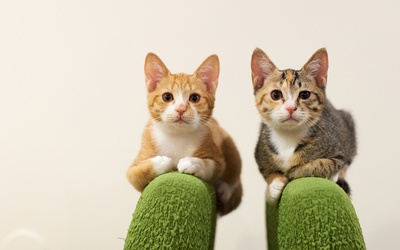 Ginger cats begging for attention wallpaper