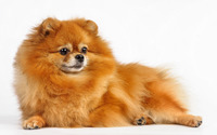 Ginger dog wallpaper 3840x2160 jpg