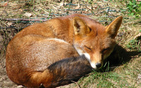 Ginger fox sleeping on the grass wallpaper 1920x1080 jpg