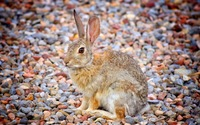 Ginger hare wallpaper 2560x1600 jpg