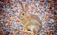 Ginger hare wallpaper 2560x1600 jpg