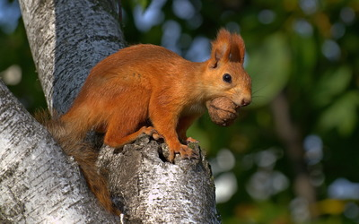 Ginger squirrel with a nut wallpaper