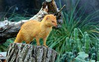 Ginger weasel on a tree trunk wallpaper 2880x1800 jpg