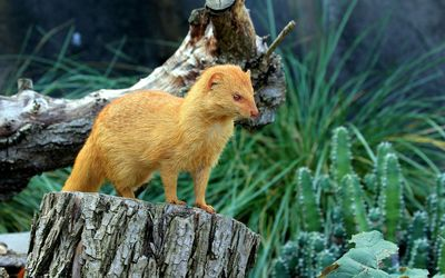 Ginger weasel on a tree trunk wallpaper