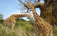 Giraffe [3] wallpaper 2560x1600 jpg
