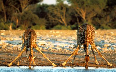 Giraffe [2] wallpaper