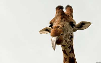 Giraffe [5] wallpaper
