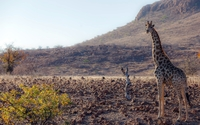 Giraffe [11] wallpaper 1920x1200 jpg