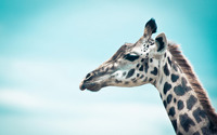 Giraffe [10] wallpaper 1920x1200 jpg