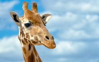 Giraffe [8] wallpaper 1920x1200 jpg