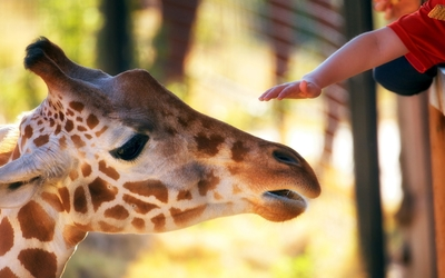 Giraffe [13] wallpaper