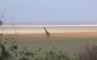 Giraffe [14] wallpaper