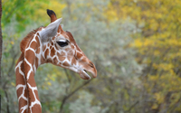 Giraffe [12] wallpaper 2560x1600 jpg