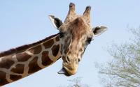 Giraffe [4] wallpaper 1920x1200 jpg