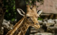 Giraffe close-up wallpaper 2560x1600 jpg