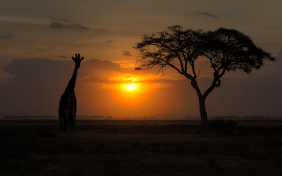 Giraffe silhouette wallpaper