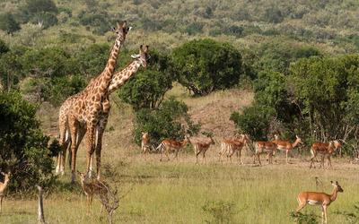 Giraffes [3] wallpaper