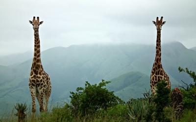 Giraffes [2] wallpaper