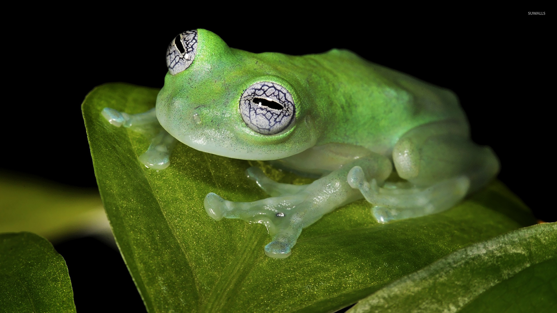 Glass Frog Wallpaper 1920x1080 Jpg