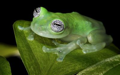 Glass frog wallpaper