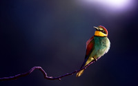 Golden bee-eater wallpaper 1920x1200 jpg