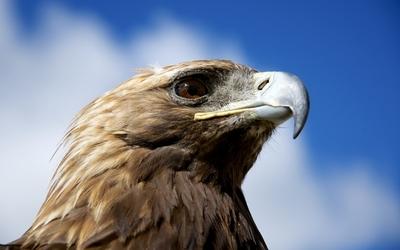 Golden eagle [2] wallpaper