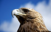 Golden eagle wallpaper 1920x1200 jpg