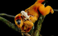 Golden Lion Tamarin Monkey wallpaper 2560x1600 jpg