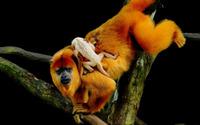 Golden Lion Tamarin Monkey wallpaper 2560x1600 jpg