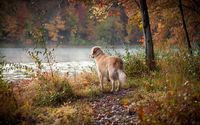 Golden Retriever at the foggy lake wallpaper 1920x1200 jpg