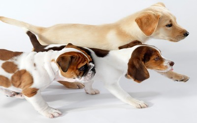Golden Retriever, Beagle and English Bulldog puppies wallpaper