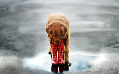 Golden retriever fetching boots wallpaper