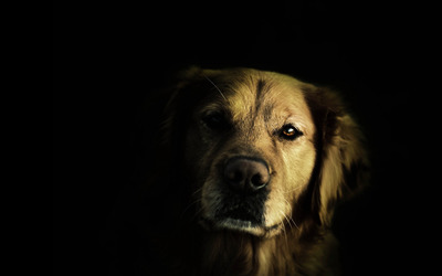 Golden retriever in the dark wallpaper