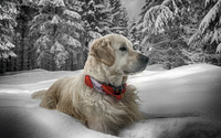 Golden Retriever in the snow wallpaper 2560x1600 jpg