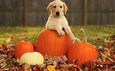 Golden retriever on the pumpkins wallpaper