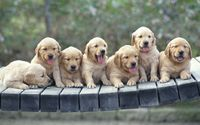 Golden Retriever puppies wallpaper 1920x1080 jpg