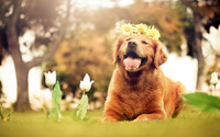 Golden Retriever puppy [2] wallpaper 1920x1080 jpg
