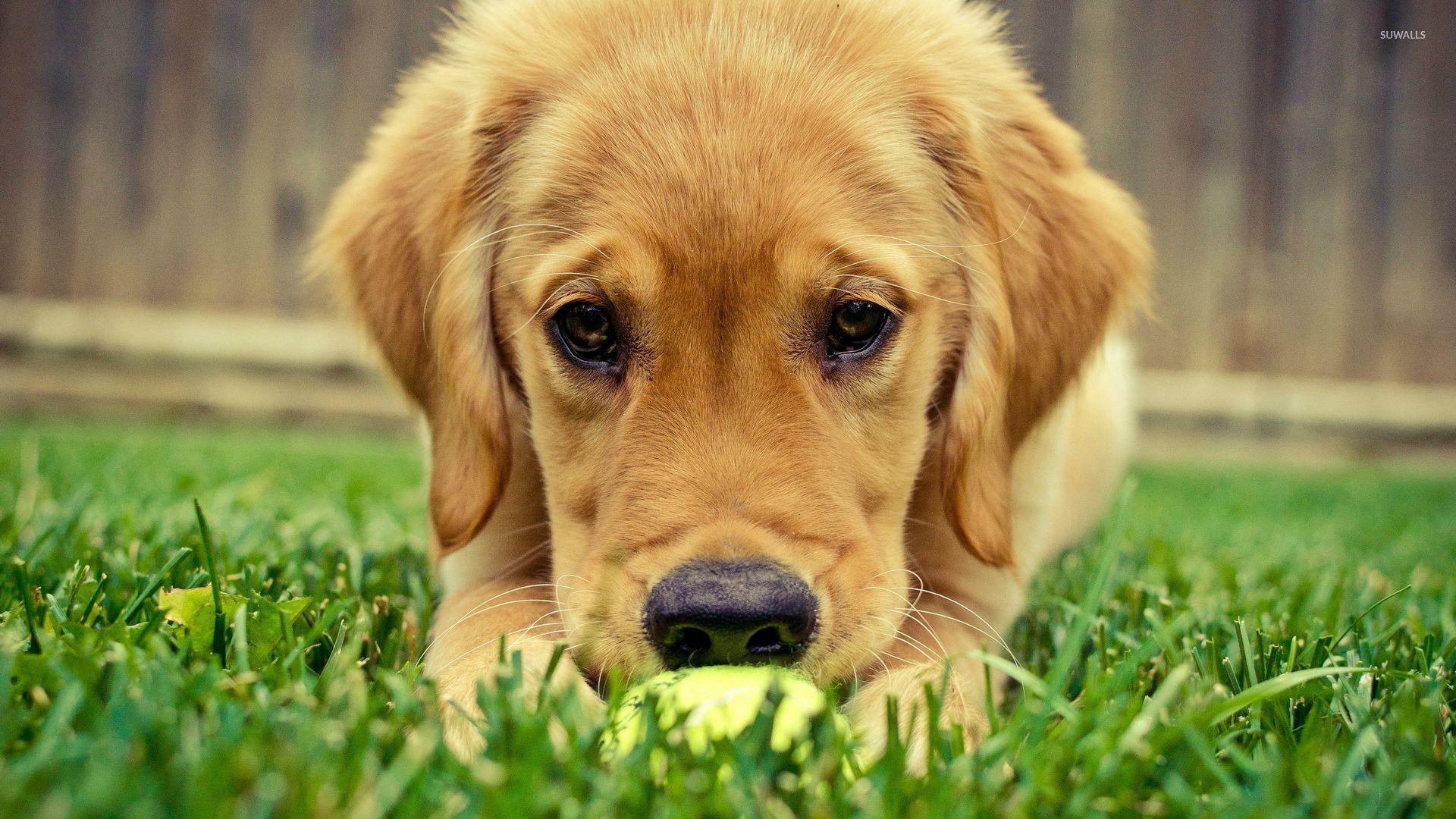 Golden Retriever Puppy 3 Wallpaper Animal Wallpapers 26778