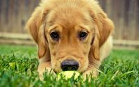 Golden retriever puppy [3] wallpaper 1920x1080 jpg