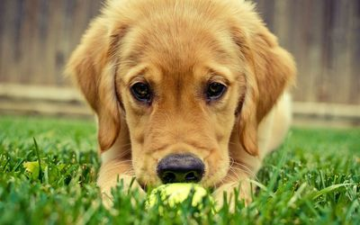 Golden retriever puppy [3] wallpaper