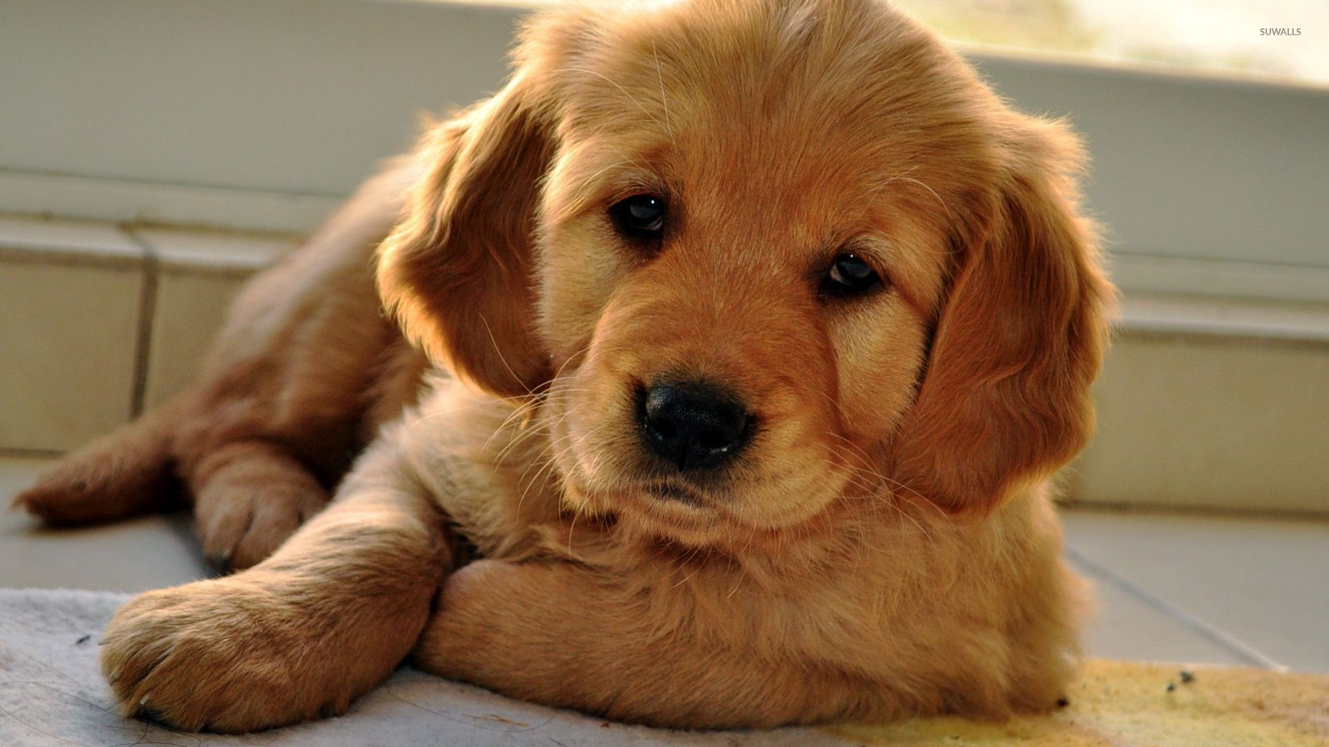 Dogs And Puppies Wallpaper Golden Retriever puppy...