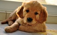 Golden Retriever puppy [6] wallpaper 1920x1200 jpg