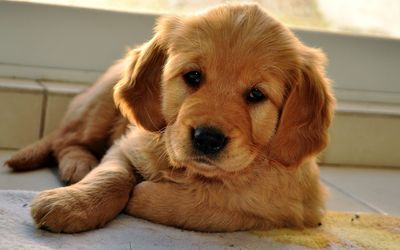 Golden Retriever puppy [6] wallpaper