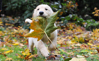 Golden Retriever puppy wallpaper 1920x1200 jpg