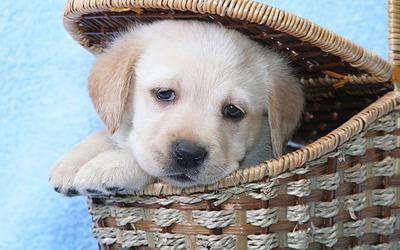 Golden retriever puppy in a basket wallpaper