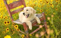 Golden Retriever puppy on the chair wallpaper 1920x1080 jpg