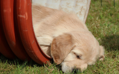 Golden Retriever puppy sleeping wallpaper