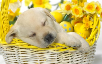 Golden Retriever puppy sleeping in a basket wallpaper