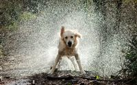 Golden Retriever shaking off the water wallpaper 2560x1600 jpg