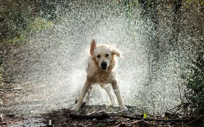 Golden Retriever shaking off the water wallpaper